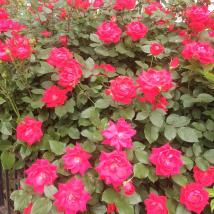 rose1